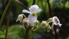Begonia sp, Perak, Malaysia. Stock Footage