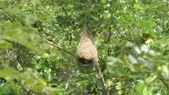 Baya Weaverbird, Perak, Malaysia. Stock Footage