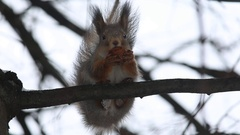 Red squirrel (Sciurus vulgaris) sits on a branch and eats a nut Stock Footage