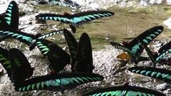 Raja Brooke's Birdwing Butterflies Stock Footage