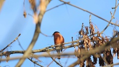 Bullfinch (Pyrrhula pyrrhula) male  sitting on a branch and eating maple seed Stock Footage