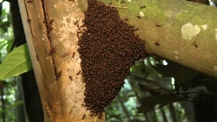 Ants, Perak, Malaysia. Stock Footage