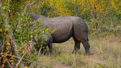 White Rhino baby & mother Stock Footage