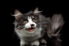 Siberian cat on isolated black background Stock Photos