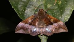 Ischyja moth, Malaysia Stock Footage