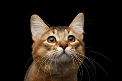 Portrait of pedigree orange Somali kitty on isolated black background Stock Photos