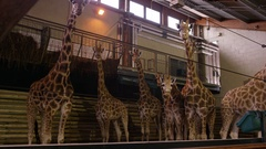 4K Family of young giraffes in indoor building at wildlife park. No people.  Stock Footage