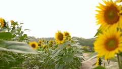 Longhair lady rides a bike at sunflower field Stock Footage