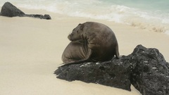 Galapagos Sea Lion young on rock Stock Footage