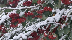 Snowy Red Berries Stock Footage