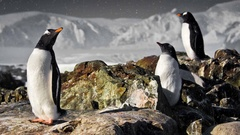 Three penguins. Slow motion 4K footage Stock Footage