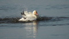 Snow Goose bathing Stock Footage