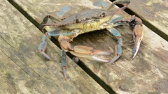 Blue Crab defensive posture Stock Footage
