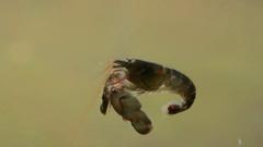 Pistol Shrimp swimming Stock Footage