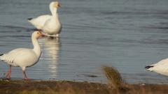 Snow Geese walking Stock Footage