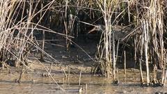 Clapper Rail walking in marsh Stock Footage
