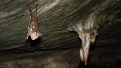 Diadem Roundleaf bat, Malaysia Stock Footage