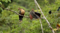 Hoatzin preening and displaying Stock Footage
