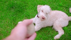 Dog owner throwing ball. Dog catching ball on grass. Dog play tennis ball Stock Footage