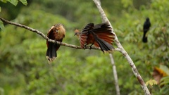 Hoatzin preening and defecating Stock Footage