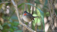 Siberian Rubythroat male calling Stock Footage