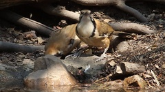 Greater-necklaced Laughingthrush drinking Stock Footage
