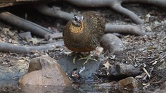 Scaly-breasted Partridge drinking Stock Footage