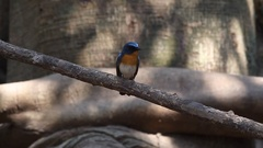 Tickell's Blue Flycatcher male perching Stock Footage