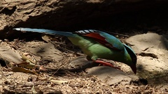 Common Green Magpie bathing Stock Footage