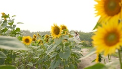 Pretty girl rides a bike at sunflower field Stock Footage