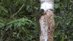 Plantain Squirrel (C.notatus), Malaysia Stock Footage
