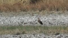 Grey-headed Fish-eagle, Cambodia Stock Footage