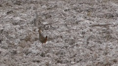 Chinese Francolin, Cambodia Stock Footage