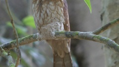 Gould's Frogmouth, Malaysia Stock Footage