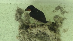 Pacific Swallow, Malaysia Stock Footage