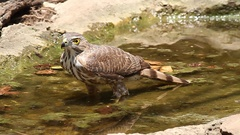 Crested Goshawk bathing Stock Footage