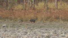 Asiatic Jackal, Cambodia Stock Footage