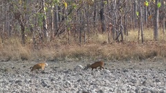 Northern Red Muntjac, Cambodia Stock Footage