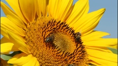 Bees collect nectar and pollen from flowers of sunflower. Stock Footage