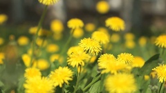 Man picking a bouquet of yellow dandelions Stock Footage
