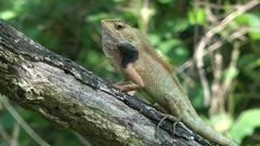 Common Garden Lizard, Malaysia Stock Footage