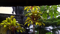 Tropical rain. Drips on fresh green leaves around the house from the roof. Stock Footage