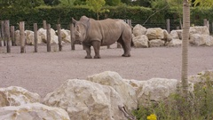 4K Endangered white rhino at wildlife park in the UK. No people.  Stock Footage