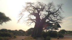 CLOSE UP: Safari jeeps game driving past baobab tree in wildlife national park Stock Footage