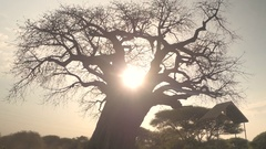 CLOSE UP: Mighty baobab tree canopy without leaves in Tarangire National Park Stock Footage
