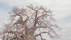 CLOSE UP: Creepy big old baobab tree with bare twisted branches without leaves Stock Footage