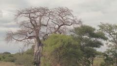 AERIAL: Safari game driving through African savanna and baobab woodland Stock Footage