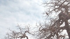 CLOSE UP: African raptor bird of prey sitting on twisted branches on baobab tree Stock Footage