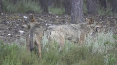 Slow motion of two wolfs eating Stock Footage