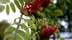 Rowan branch - at autumn russia, red berries and green leaves Stock Footage